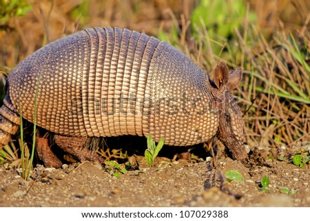 Nine-banded Armadillo digs in the dirt for food alongside a Texas roadway