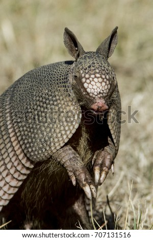 Nine-banded Armadillo sitting up with leathery armor shell on the Natchez Trace Parkway, Tishomingo County, Mississippi.