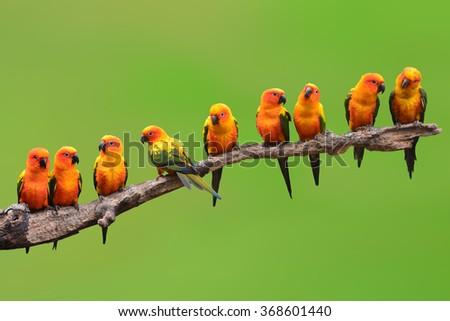 Nine of Sun Conure Parrot bird perching on a branch on green background #368601440