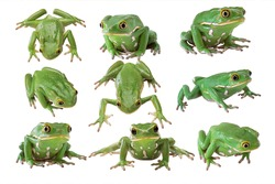 Nine pictures of tree frogs with different angles. green tree frog on white background, Macro amphibia, Animals reptile. indonesia