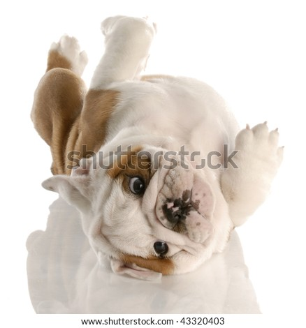 nine week old english bulldog puppy rolling on his back
