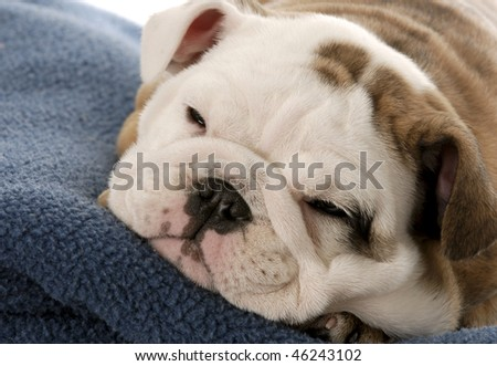 nine week old english bulldog puppy sleeping on blue blanket