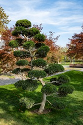 Nivaki tree Ilex Crenata Bonsai (Japanese holly bonsai) against backdrop of decorative pond. Stylized Japanese courtyard. Public landscape city park of Krasnodar for walking. Galician park.