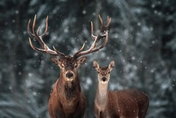 Noble deer male and female in winter snow forest.