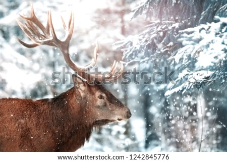 Noble deer male with big horns in winter forest.  Winter image.