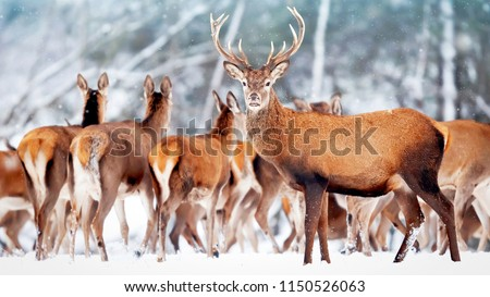 Noble deer with females in the herd against the background of a beautiful winter snow forest. Artistic winter landscape. Christmas photography.