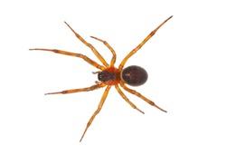 Noble false widow spider isolated on white background, Steatoda nobilis old mature female