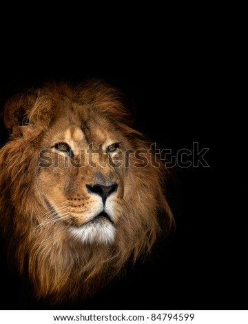 noble lion on a black background