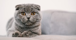 Noble proud cat lying on a couch. The Scottish Fold Shorthair with blue gray fur, with copyspace for your individual text.