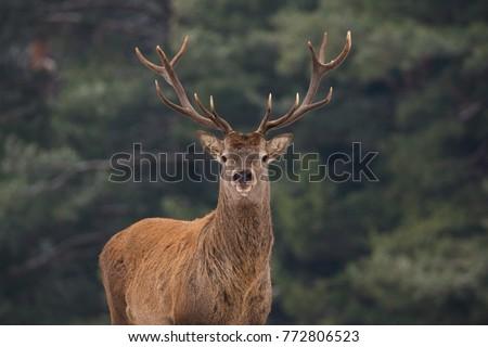Noble Red Deer (Cervidae) Against Pine Forest Background. Portrait Of Deer ( Cervus Elaphus). Great Adult Noble Red Deer With Big Beautiful Horns At Forest Background. Wildlife Landscape With Stag.