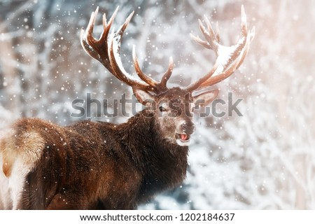 Noble red deer male against the winter snow forest. Winter christmas wonderland.