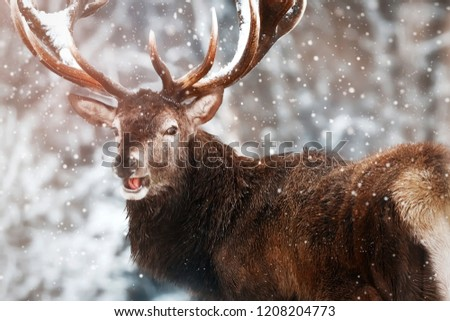 Noble red deer male against the winter snow forest. Winter christmas wonderland. Portrait of wild deer in natural area.
