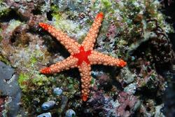 Noduled sea star (Fromia nodosa) underwater on the bottom of the sea