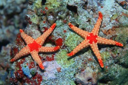 Noduled sea stars (Fromia nodosa) in the coral reef