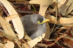 Noisy Miner baby bird pushed out of the nest to learn to fly in an Australian park garden