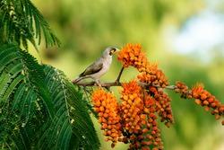Noisy miner bird also known as Manorina melanocephala