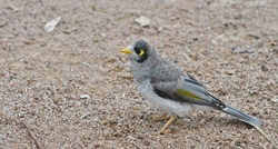 Noisy Miner bird, closeup, standing on a gravel path and looking ahead.