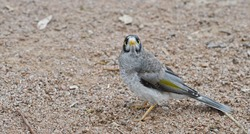 Noisy Miner bird, closeup, standing on a gravel path and looking at the camera.