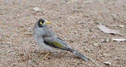 Noisy Miner bird, closeup, standing on a gravel path and looking behind.