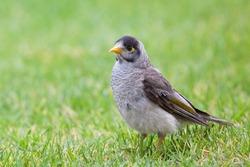 Noisy Miner bird (Manorina melanocephala) captured in the Daisy Hill conservation park in Brisbane. This bird is an endemic species of Australia