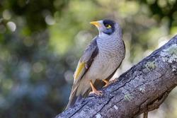 Noisy Miner Bird perched on log