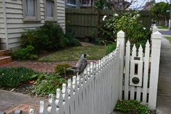 Noisy miner bird sitting on a white wooden driveway gate, with a neat garden and weatherboard house in the background