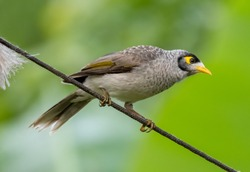 Noisy Miner Bird With A Green Background
