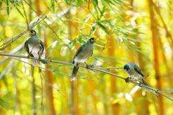 Noisy miner birds also known as Manorina melanocephala