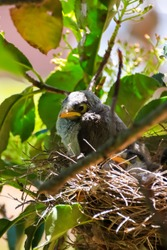 Noisy Miner chicks in their nest found in a park tree In mid Spring Sydney Australia