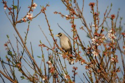Noisy miner perched on a blossom tree in sunlight