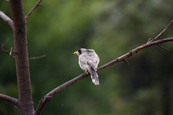 Noisy miner perched on a branch in Adelaide parklands