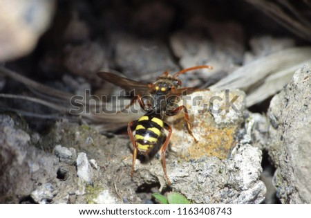 Nomada flava (Flavous Nomad) making nest in garden, picture taken in the north west UK.