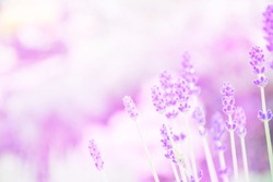 Non focus blur background of lavender flower blossoms and growing in sol, plant in summer garden with purple light soft and bokeh. Flower medical and aroma concept
