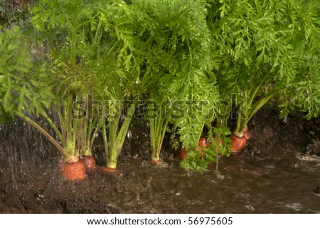 Non-polluting method of cultivation of carrots on a farm