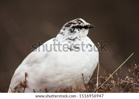 Nonbreeding male Rock Ptarmigan (Lagopus muta) in white winter plumage, pictured in its natural habitat of artic alpine tundra in Skaftafell, Vatnajökull National Park, in Iceland