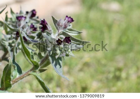 Nonea plant cose up photo. Weed control, medicinal plant. Soft selective focus.