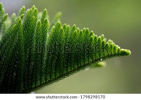 Photo of  Norfolk Island pine (Araucaria heterophylla) green leaves background. It's also known as star pine, triangle tree or living Christmas tree, due to its symmetrical shape as a sapling.