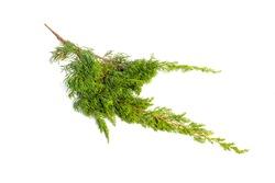Norfolk Island Pine Leaf isolated on white background.Araucaria heterophylla - Norfolk Island Pine macro on white.
