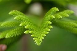 Norfolk Island Pine leaf on tree.