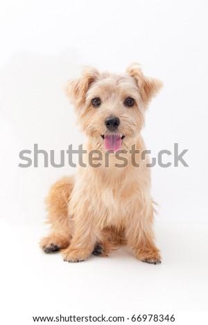 Norfolk terrier dog