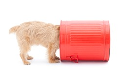 Norfolk terrier dog and red bucket, isolated on white background
