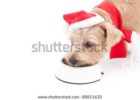 Norfolk terrier dog eating food at Christmas
