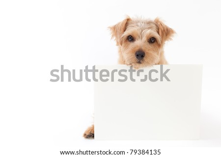 norfolk terrier dog holding message board, isolated on white background