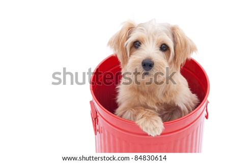 Norfolk terrier dog in red bucket, isolated on white background