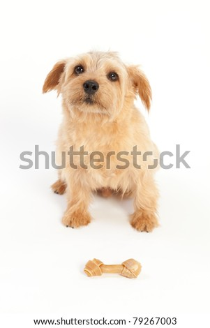 Norfolk terrier dog waiting for a dog bone