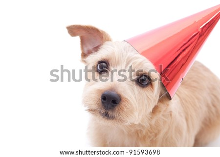 Norfolk terrier dog With birthday party hat isolated on white background