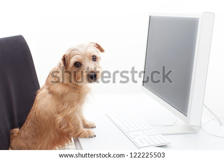 Norfolk terrier dog working on computer, isolated on white background