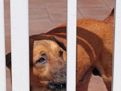 Normal eyes cross bred dog barking at strangers, Singapore. Guard dog. Male. Mongrel.