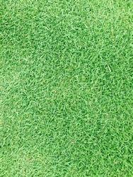 Normal grass background, green grass.