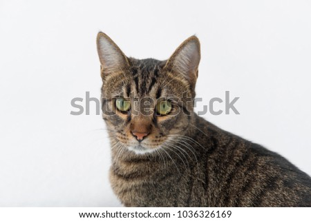 normal tabby cat looking at the camera on a white background isolate